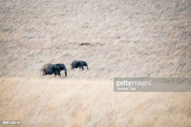 african elephants crossing grassland - desert elephant stock pictures, royalty-free photos & images