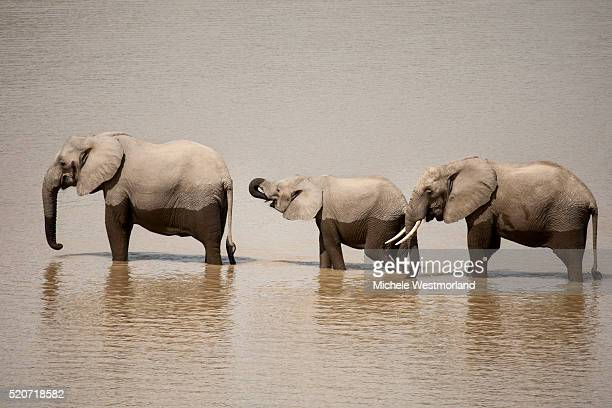 African Elephants Crossing River