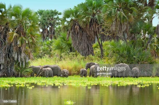 Los elefantes africanos agua potable en el lago Manze, Selous, Tanzania