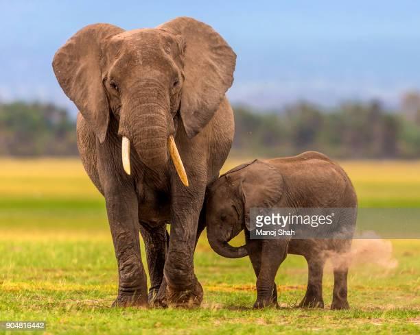 African Elephants dusting