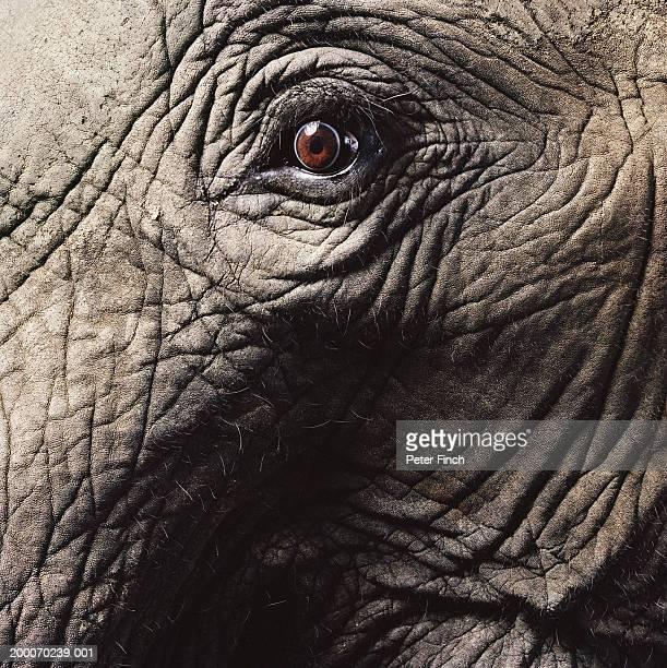 African elephant's eye, close-up