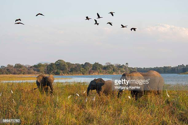 African elephants feeding on grass on the shore of the Shire River in Liwonde National Park Malawi