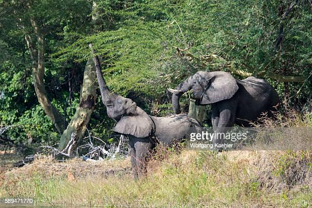 African elephants feeding on trees in Liwonde National Park Malawi