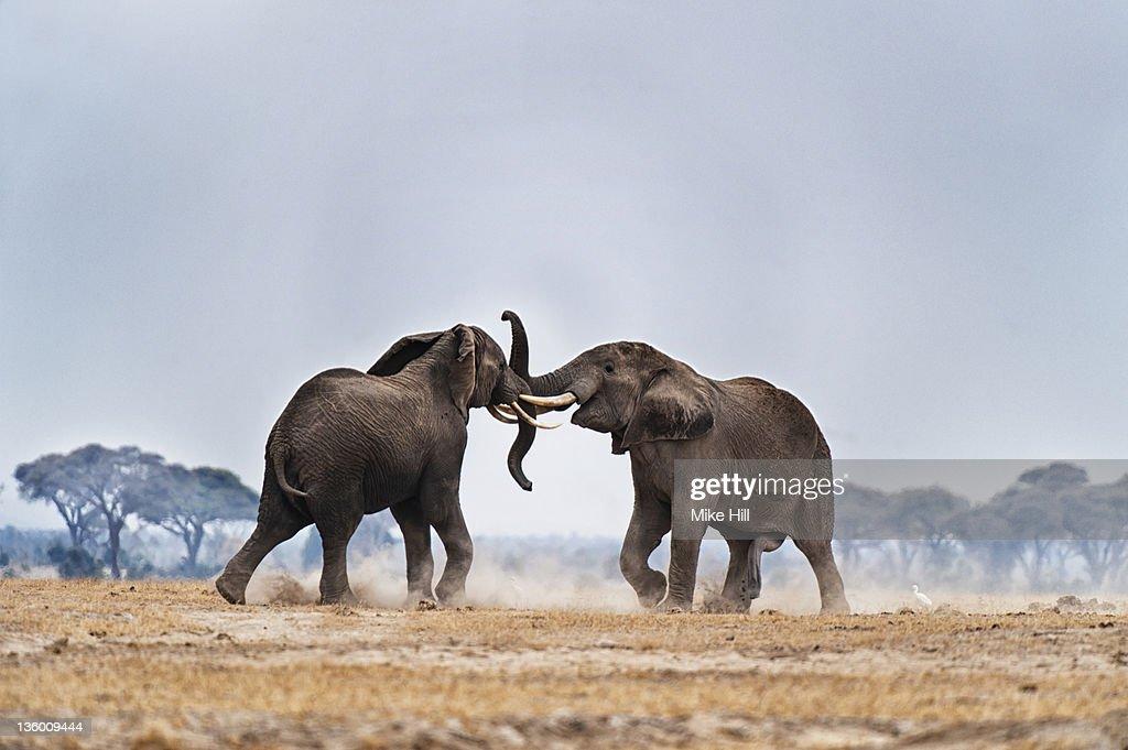 African Elephants fighting : Stock Photo