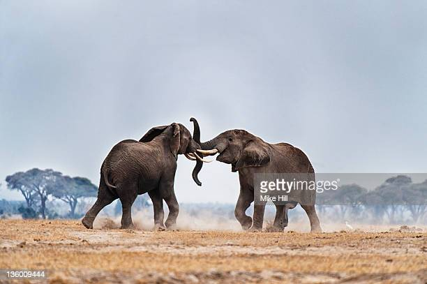 african elephants fighting - amboseli stock photos and pictures