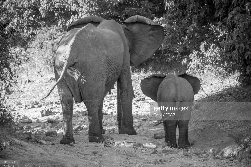 African elephants in forest : Stock Photo