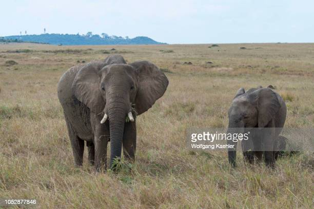 African elephants in the grasslands of the Masai Mara National Reserve in Kenya