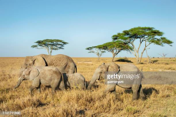 african elephants in the plains of serengeti, tanzania - safari animals stock pictures, royalty-free photos & images