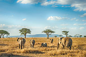 African Elephants in the plains of Serengeti, Tanzania