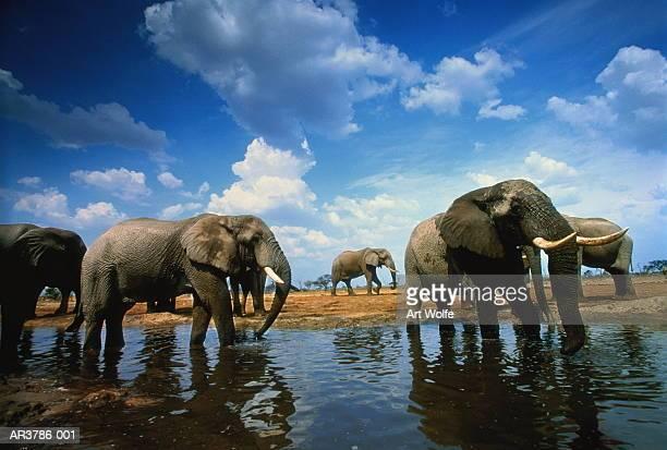 African elephants (Loxodonta africana) in water, Botswana