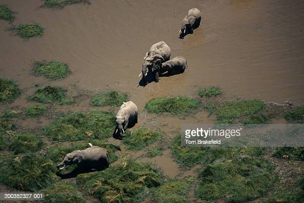 African elephants (Loxodonta africana), Kenya, Africa, (Aerial view)
