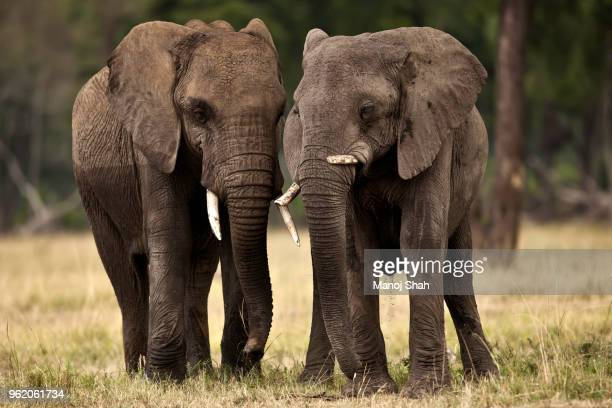 african elephants leaving the forest for the marsh. - two animals stock pictures, royalty-free photos & images