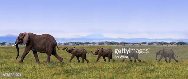 african elephants (loxodanta africana) linking tails (composite) - baby elephant stock photos and pictures