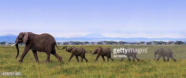 African elephants (Loxodanta africana) linking tails (Composite)