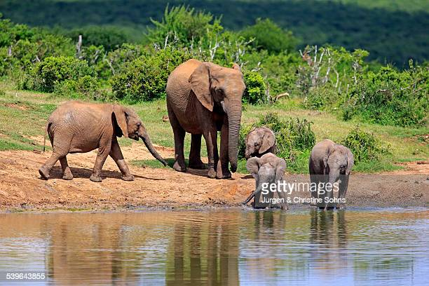 African Elephants -Loxodonta africana-, adult with young animals at the waterhole, Addo Elephant National Park, Eastern Cape, South Africa