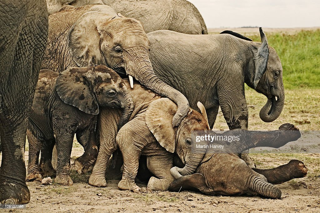 African Elephants, Loxodonta africana. Calves lie down to sleep while others attempt to play with sleeping individual. Amboseli National Park Kenya. Dist. Sub-saharan Africa : Stock Photo