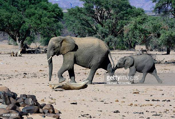 african elephants -loxodonta africana-, desert elephant, mother and calf in the aba-huab dry riverbed, damaraland, kunene region, namibia - desert elephant stock pictures, royalty-free photos & images