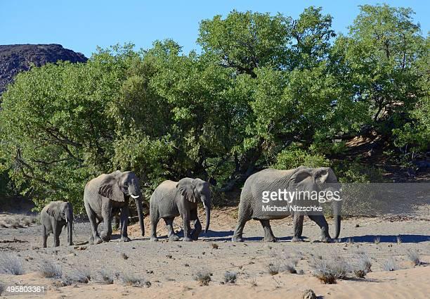 african elephants -loxodonta africana-, desert elephants, damaraland, kunene region, namibia - desert elephant stock pictures, royalty-free photos & images