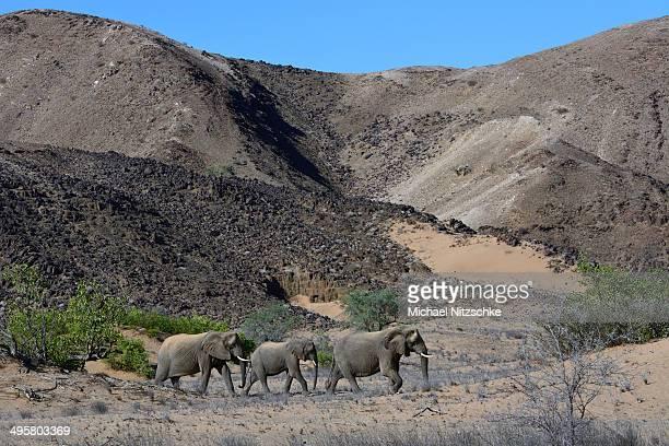 african elephants -loxodonta africana-, desert elephants in the aba-huab dry riverbed, damaraland, kunene region, namibia - desert elephant stock pictures, royalty-free photos & images
