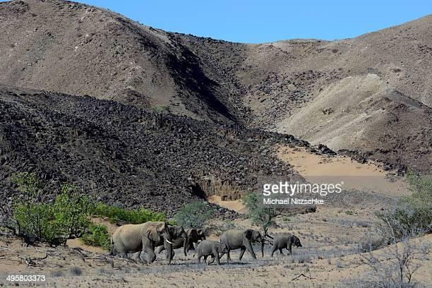 African elephants -Loxodonta africana-, desert elephants in the Aba-Huab dry riverbed, Damaraland, Kunene Region, Namibia