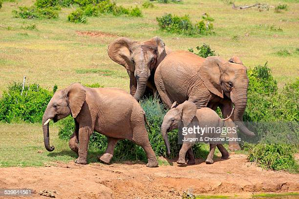 African Elephants -Loxodonta africana-, group with young, Addo Elephant National Park, Eastern Cape, South Africa