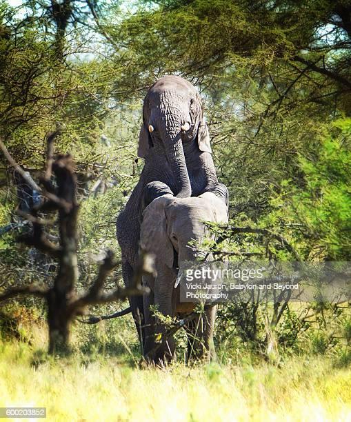 African Elephants Mating in the Serengeti, Tanzania
