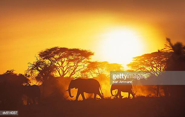 African Elephants moving at sunset (Loxodonta africana)