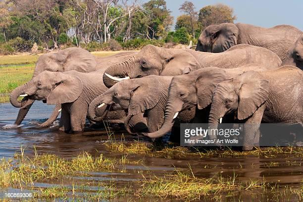 african elephants, okavango delta, botswana - okavango delta stock photos and pictures