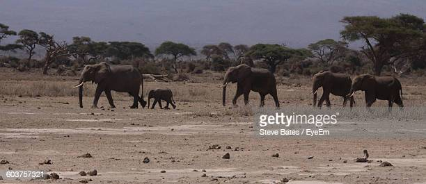 African Elephants On Field