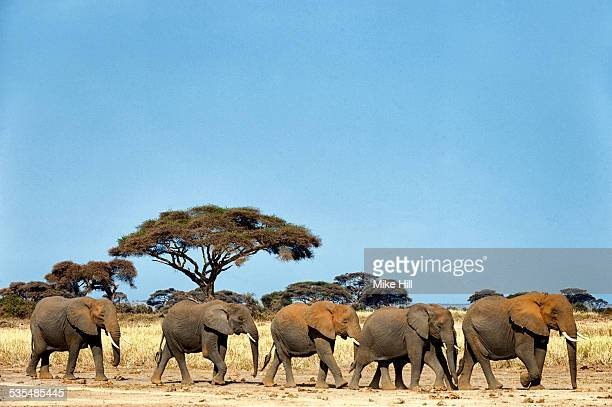 African elephants on the move