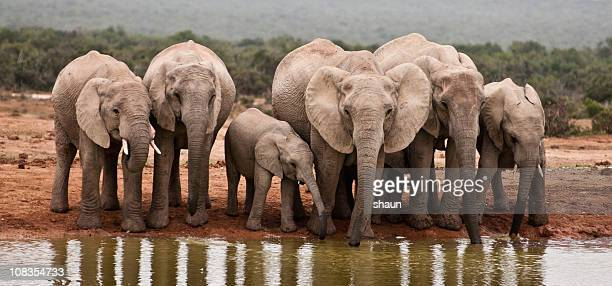 african elephants - waterhole stock pictures, royalty-free photos & images