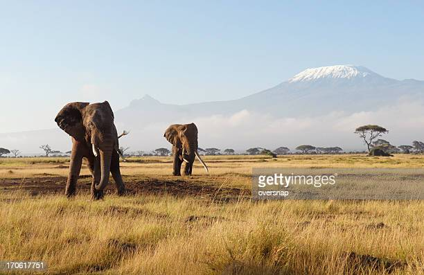 african elephants - kilimanjaro stock photos and pictures