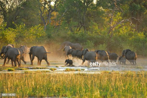 african elephants - okavango delta stock pictures, royalty-free photos & images