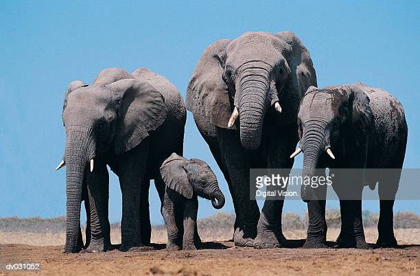 african elephants (loxodonta africana) - baby elephant stock photos and pictures