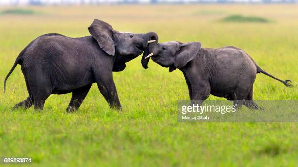 African elephants play fighting.