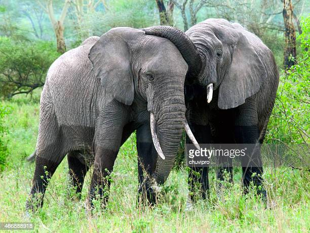 African Elephants sparring in the wild