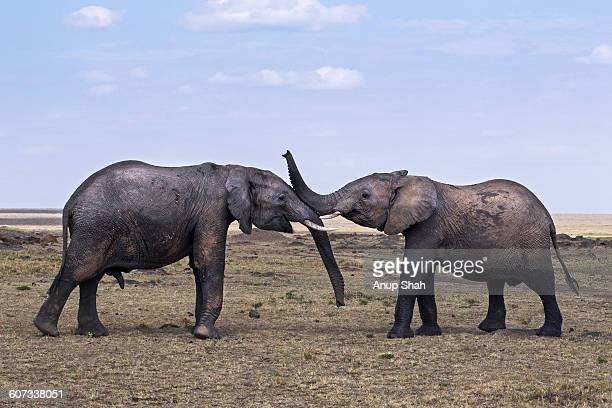 African elephants sparring