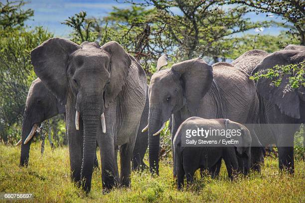 African Elephants Standing On Grassy Field