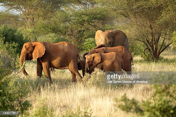 African Elephants taking a dust bath in Tsavo National Park Kenya Africa
