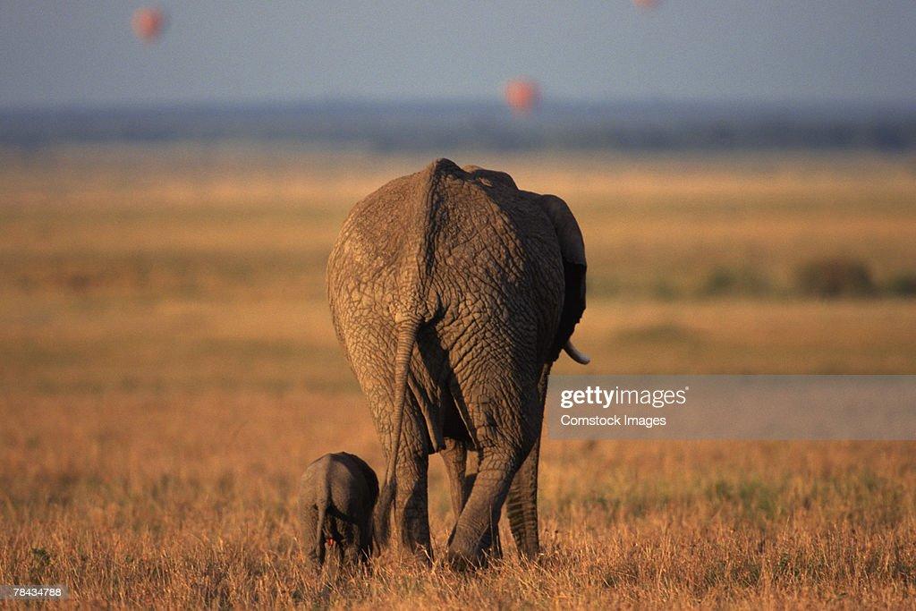 African elephants walking away , Kenya , Africa : Stockfoto