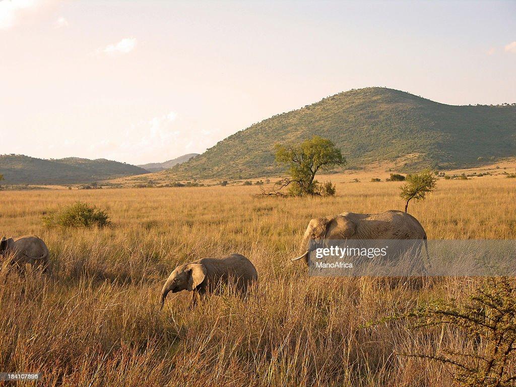 African Elephants walking : Stock Photo