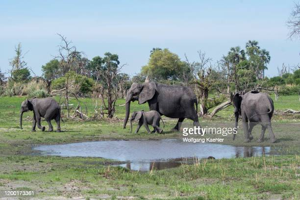 African elephants with a baby elephant walking through the landscape in the Gomoti Plains area a community run concession on the edge of the Gomoti...