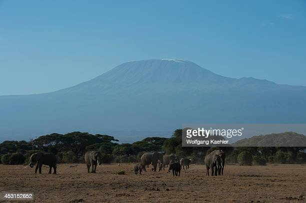 African elephants with Mount Kilimanjaro in background in Amboseli National Park in Kenya