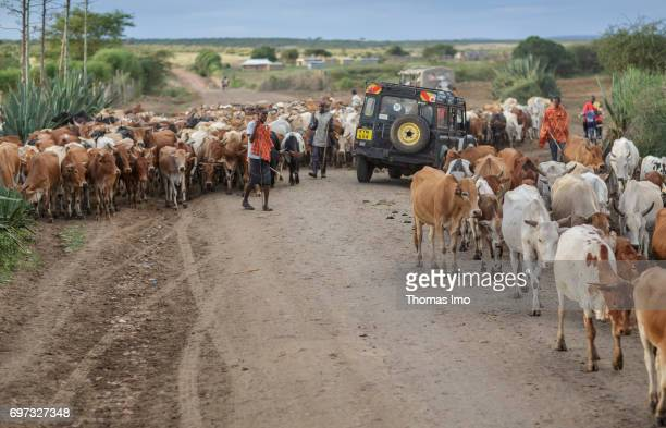 African farmers are driving a cattle herd over a busy country road on May 17 2017 in Talek Kenya