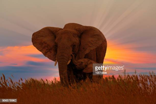 african female elephant with baby at the sunrise - baby elephant stock photos and pictures
