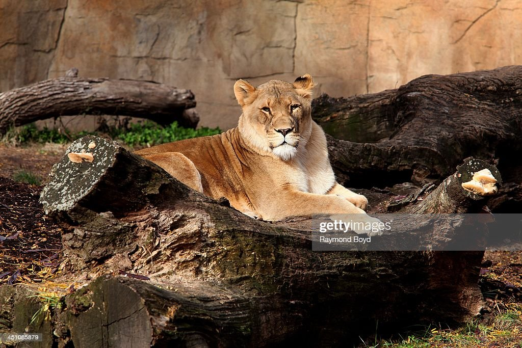 African Female Lion, at Brookfield Zoo in Brookfield