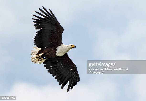 African Fish Eagle Against Blue Sky and Clouds