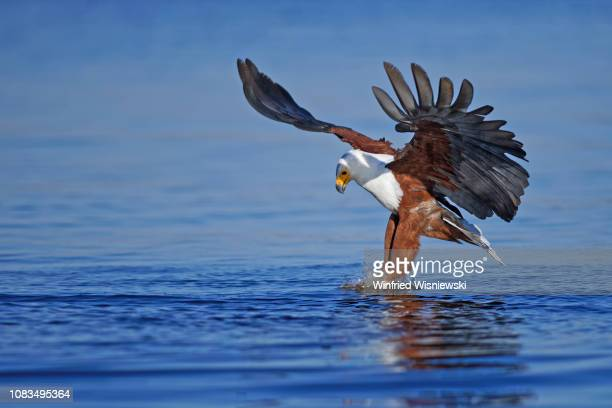 African fish eagle app 3