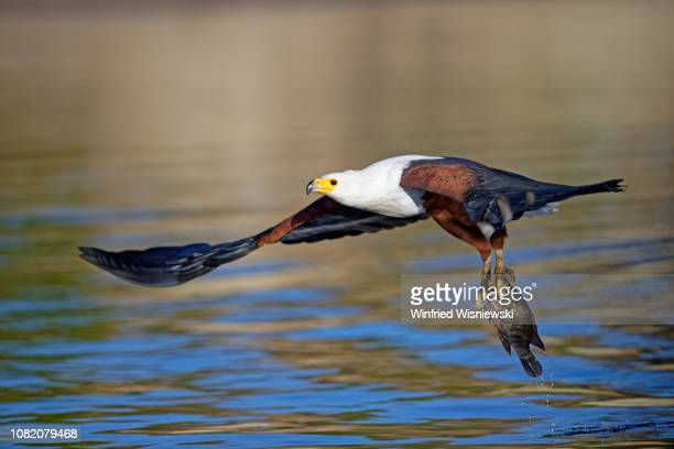 african fish eagle catching a fish - african fish eagle stock photos and pictures