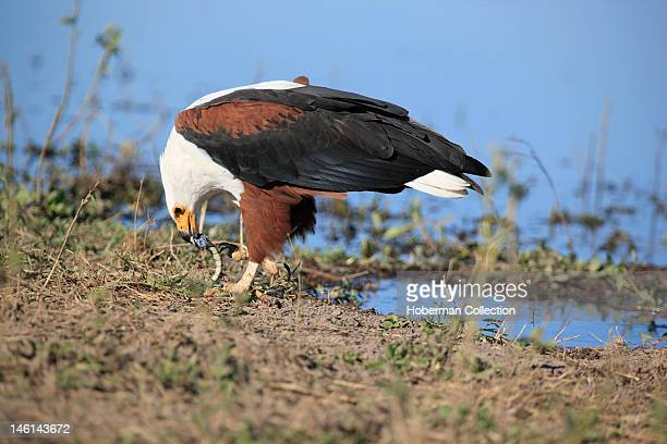 African Fish Eagle Chobe National Park Botswana Southern Africa
